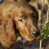 Irish Red Setter Zucht